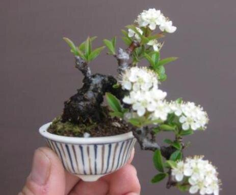 07-mame-bonsai.jpg.4e53da3b7e47ecbd8cce15d994fbc686.jpg